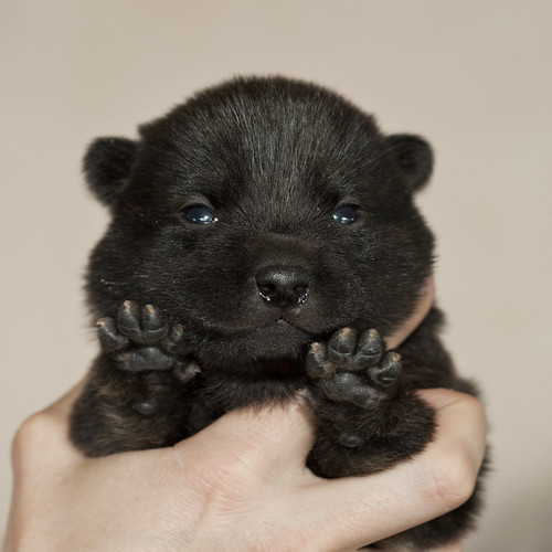 Haru-Third-Litter-Pup3-Female-Day15a