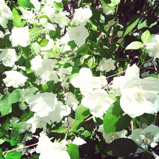 whiteblooms