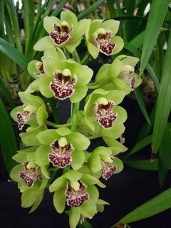 Cymbidium Alice Elise