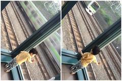 電車をみるとらちゃん(2012/5/27)