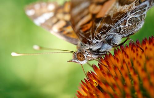macro composite butterfly echinacea manhattan ks kansas kansasstateuniversity mpe65mm ksugardens 5dmarkiii kstategardens