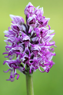 Monkey Orchid, Orchis simia