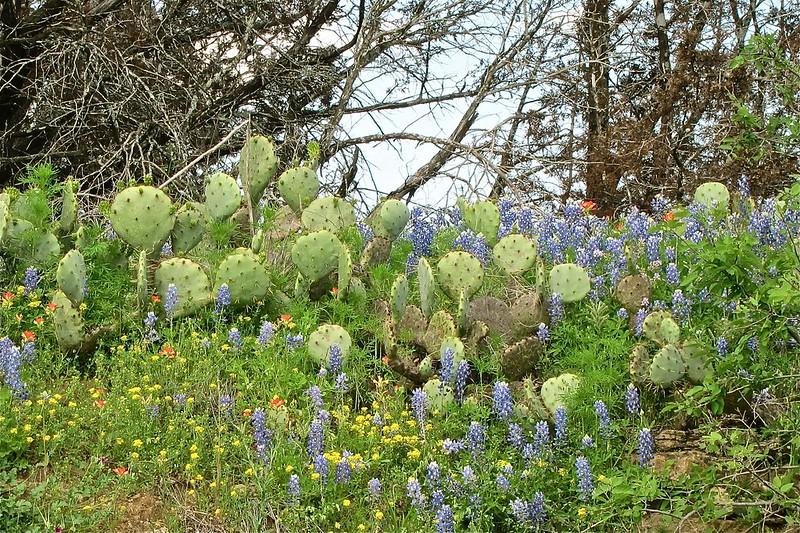TXwildflowers-Spring2012 - 05
