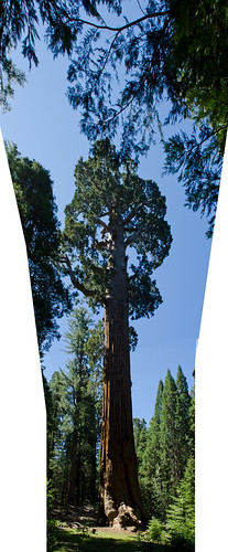 Panorama: Big tree