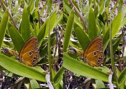 Coenonympha oedippus, stereo parallel view