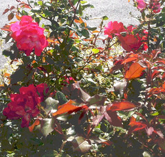 Red Roses in the Shade (Posterized Photo) by randubnick