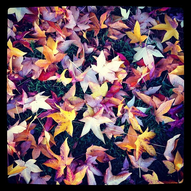 Last remnants of Autumn gone by. #fallenleaves #autumnal