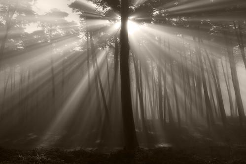 trees blackandwhite sunlight fog forest san francisco presidio morningmist lightshafts