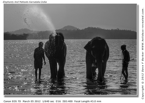 Elephants And Mahoots Karnataka India