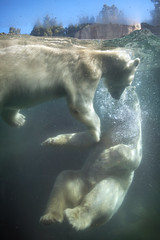 Polar Bears Playing in Pool 03-08-14