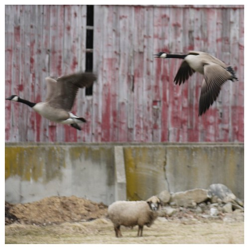 Geese in Flight 1