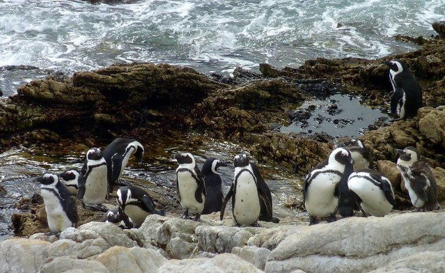 Stony Point Penguin Colony - Betty's Bay, South Africa