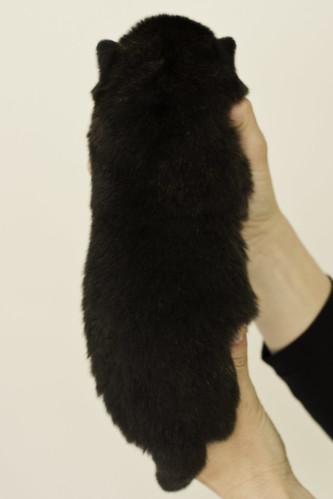 Ayui-Litter4-Day20-Puppy4-Male-b