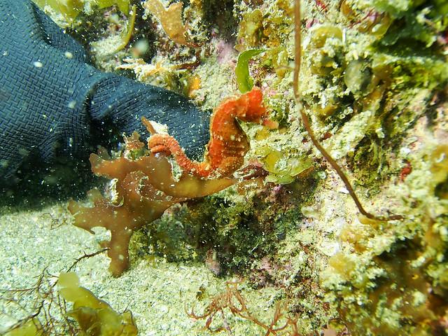 Koganezaki diving hanatatsu seahorse