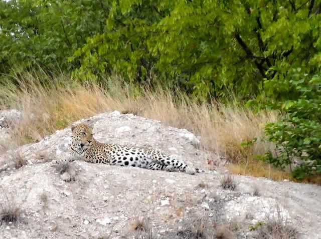 Etosha_Leopard