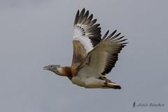 Vuelos de aves (Bird flights). Avutardas y grullas (bustards and cranes)