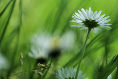 Macro Forest..... Wild Daisies