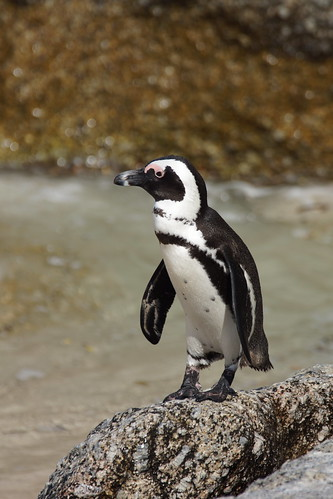 African penguin by CharlesFred