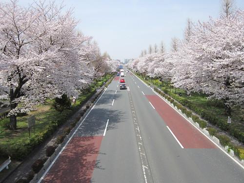 JR国立駅前大学通りの桜 by Poran111