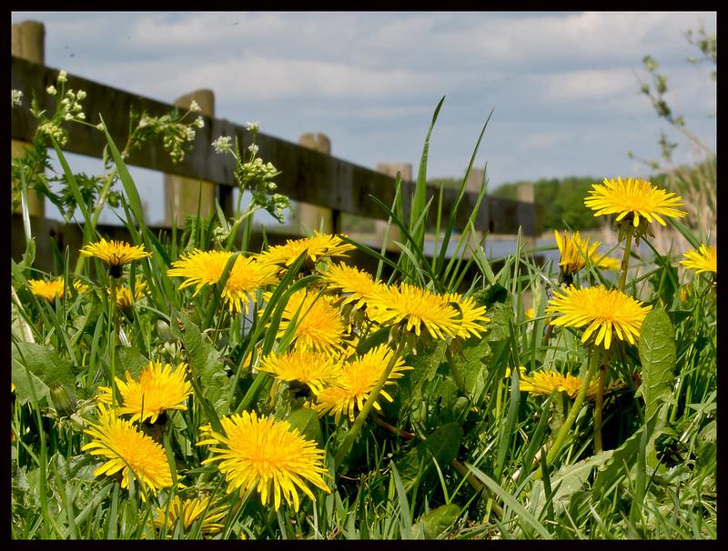 Taraxanum officinale Wild flower