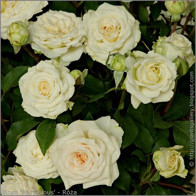 Rosa 'Marvellous' - Róża 'Marvellous'