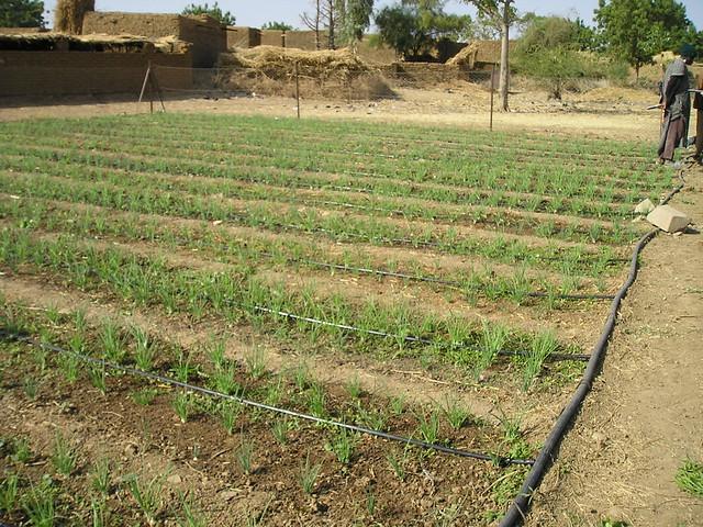 irrigation goutte goutte mopti mali 2009 flickr. Black Bedroom Furniture Sets. Home Design Ideas