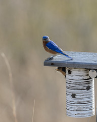 Bluebirds-2595.jpg by Mully410 * Images