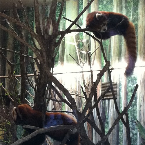 98:365 Sleepy Red Pandas at Houston Zoo