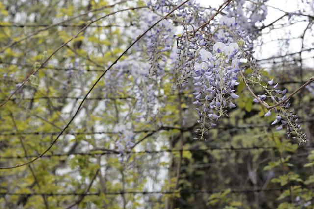 wistera1