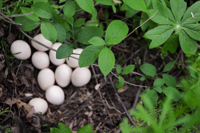 wild turkey eggs