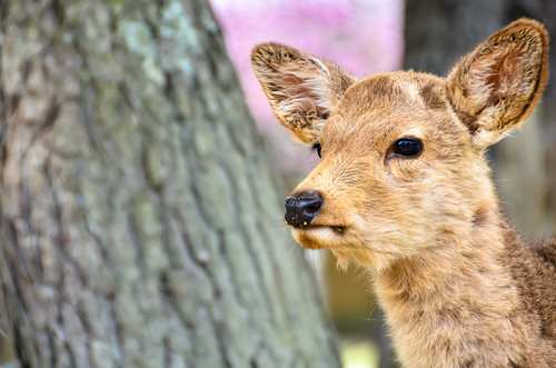 Young deer in Nara park by hyossie