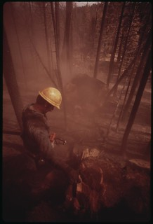 "In post-fire salvage operation, a ""faller"" has just cut down a giant tree which the flames had destroyed. Clouds of soot and ashes stirred up by the crash, are beginning to drift away, September 1973"