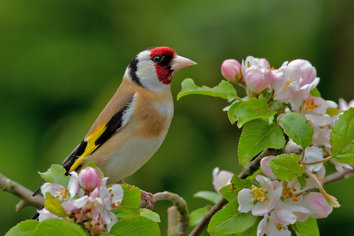 IMG_5884  Goldfinch