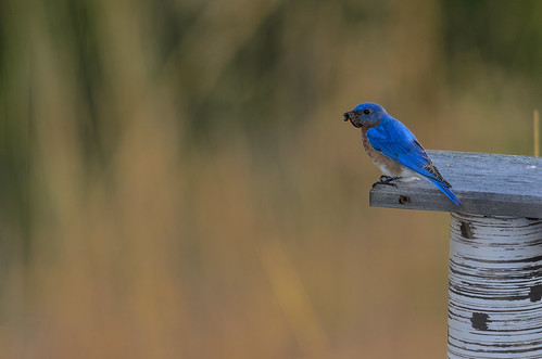 Bluebird and Worm_7919.jpg