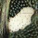 Eurydema oleracea (Cabbage bug or Brassica bug)