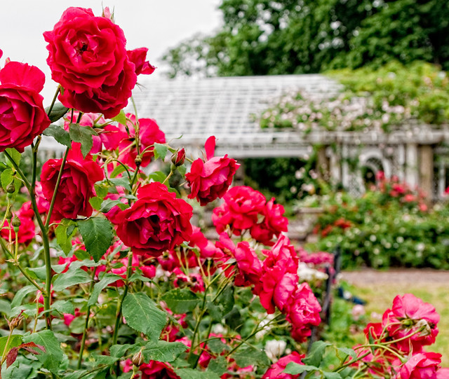 The Cranford Rose Garden. Photo by Antonio M. Rosario.