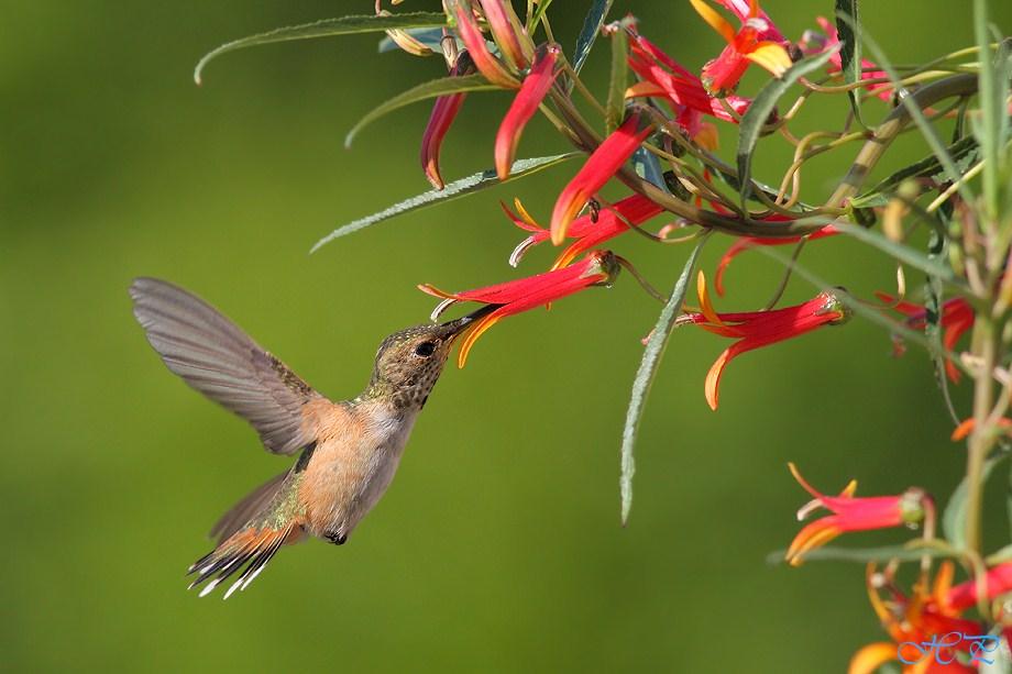 Allen's Hummingbird 060812