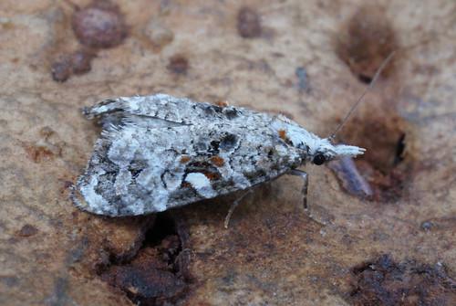 Phtheochroa rugosana