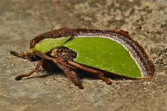 Cup Moth of the Blue-striped Stinging Nettle Caterpillar (Parasa lepida, Limacodidae)