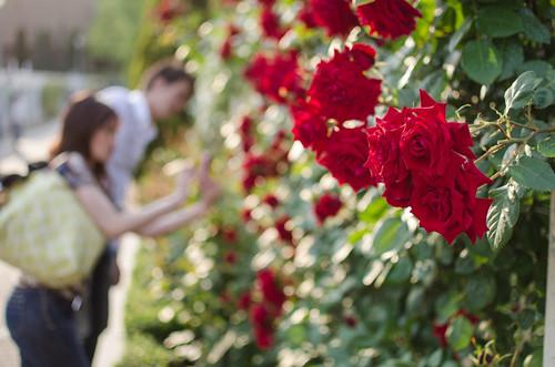 Red Roses at Nakanoshima by hyossie