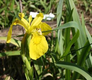 Yellow Iris blossom