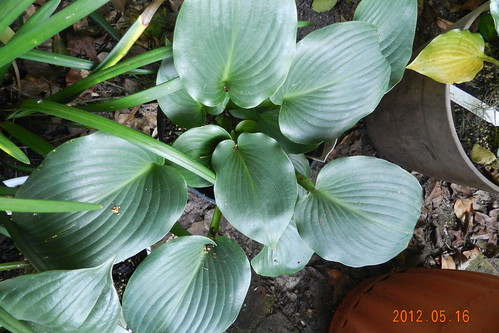 Hosta 'Nightlife'