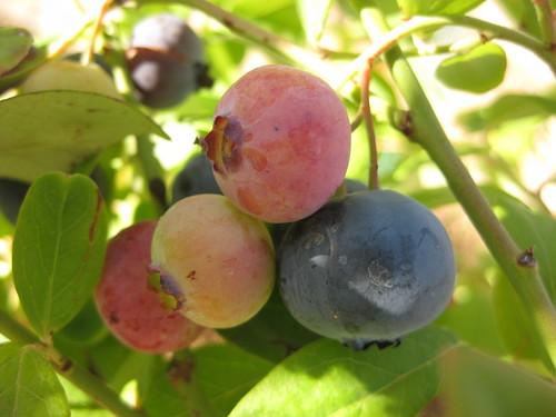 即將成熟的藍莓
