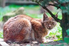 [フリー画像素材] 動物 1, 猫・ネコ, オオヤマネコ ID:201206041600