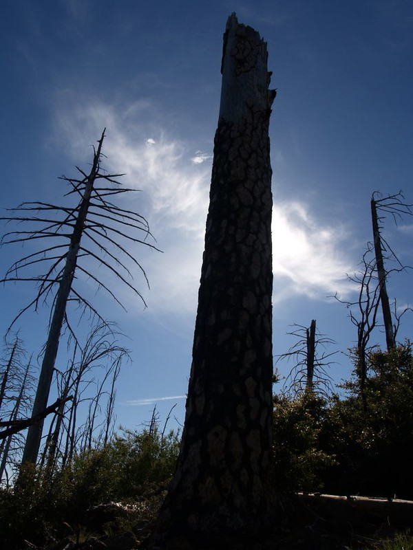 Burnt tree silhouette post-wildfire