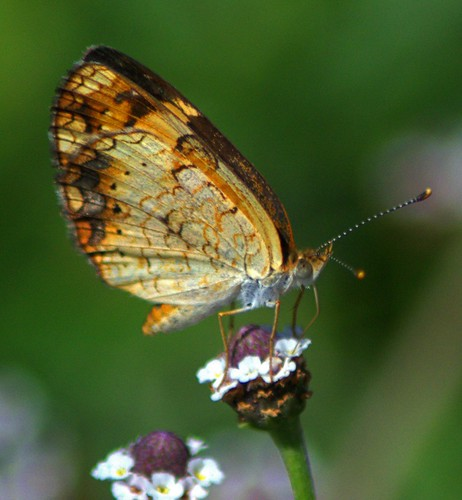 nature wildlife butterflies macrophotography orderlepidoptera pearlcrescentphyciodestharos pearlcrescentbutterflies nikond5100 butterflyonfrogfruit pearlcrescentbutterflyonfrogfruitphylanodiflora pearlcrescentbutterflyventralview