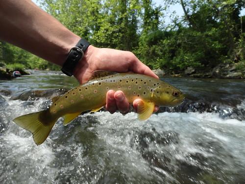 Big Gunpowder River Brown Trout