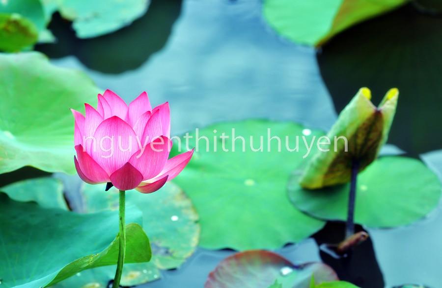 Asian Pink Lotus Flower The Lotus Flower Water Lily Is N Flickr