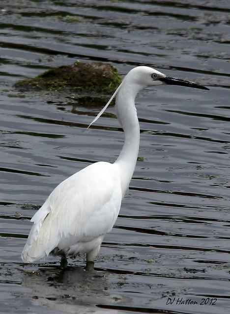Little Egret,ambling at Amble