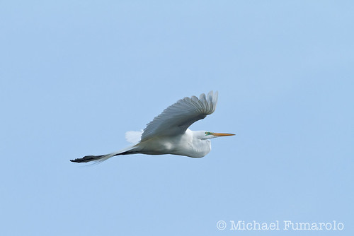 Great Egret In Flight - 07